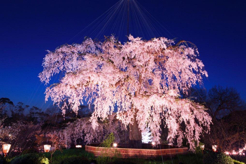 円山公園 桜 ライトアップ 画像