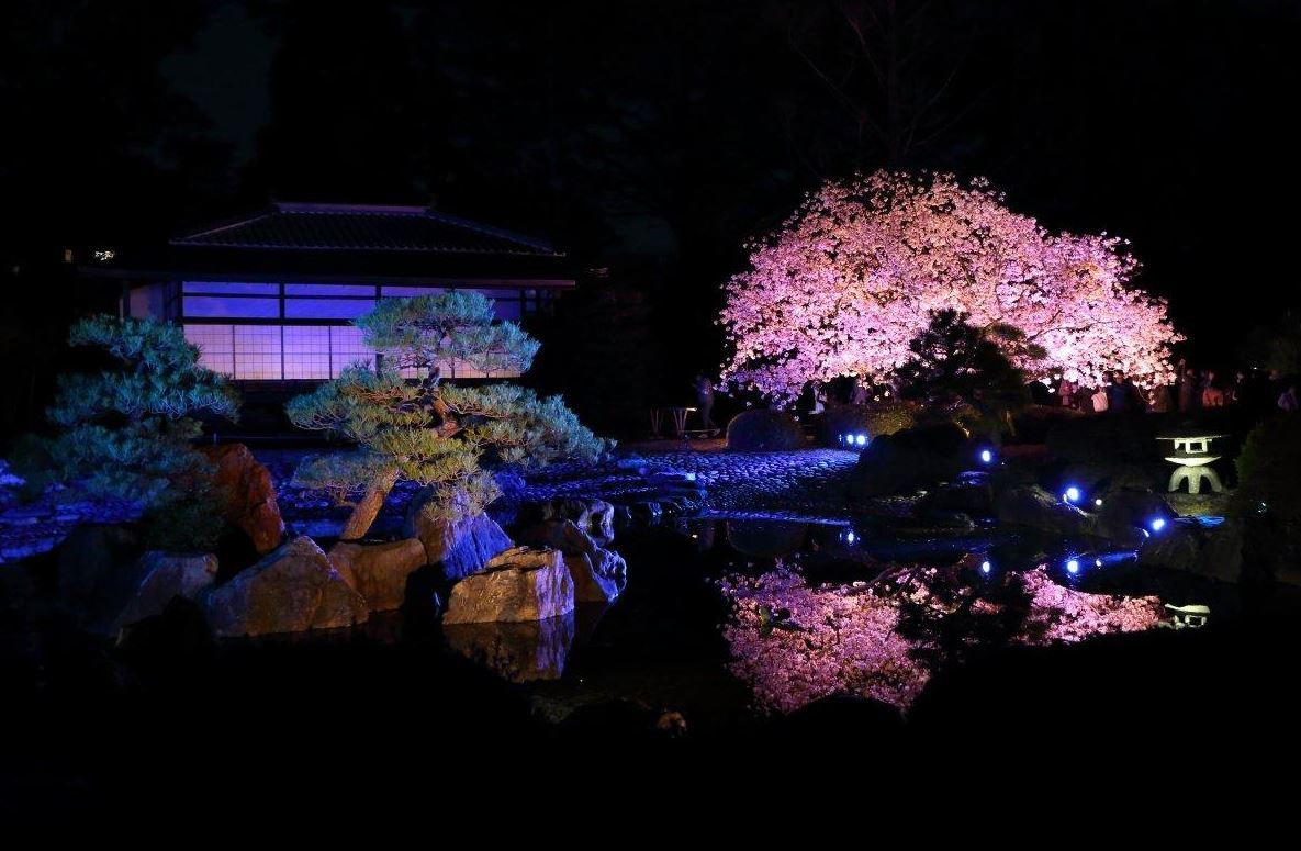 二条城 桜 ライトアップ 画像