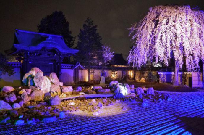 高台寺 桜 ライトアップ 画像